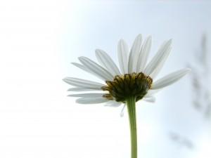 daisy looking to sky