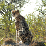 How To Call In A Cheetah—Part 1